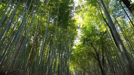 老钟游日本之京都天龙寺竹林