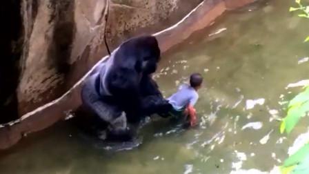 男孩掉进猩猩园,直接被猩猩拖着走,结局好在有惊无险!