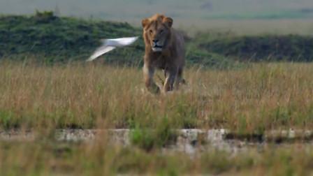 鬣狗群包围狮子,想登上草原之王的宝座,结局让人意想不到!