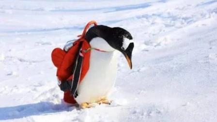 """会""""买菜""""的网红企鹅,自己出门买鱼吃,企鹅也能成精"""