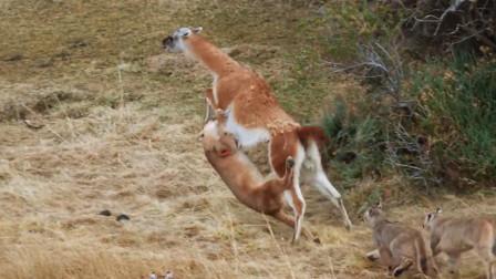 狮子竟差点被鹿踩死,看到身上的伤口,网友直呼心疼!