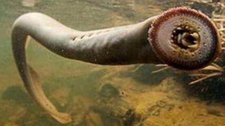 世界上最神秘的生物 南极海底巨虫 3米长十分恐怖
