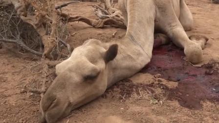 骆驼死后为啥不能碰?看到原因之后,网友:涨知识了!