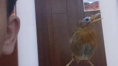 能养出这样的画眉鸟,你知道需要花费多少精力下去吗?