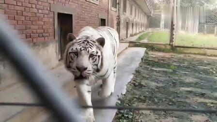 一只强壮的白虎