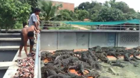 令人头疼的清道夫,被扔进鳄鱼窝喂鳄鱼,网友们表示太过瘾了!