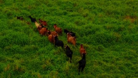 海南一海岛发现野牛群,来历成谜不明,专家终从牛粪中找到了答案