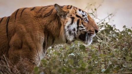 纪念科比特保护区迪卡拉虎王桑巴