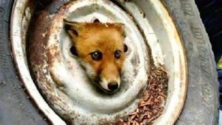 狐狸被轮胎困住濒临死亡,被男子救助后,意想不到的事情发生了