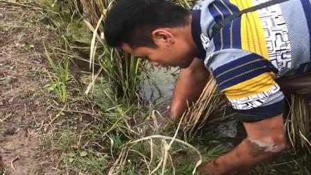 农村小伙在田边抓鱼,没想到喜获一条大黄鳝,今天的收获真不错啊!