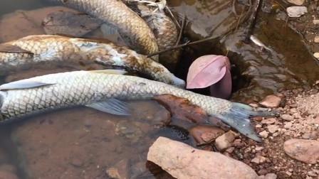 农村大姐发现水库有死鱼,直接带着地笼和竹竿来钓大货,厉害了!