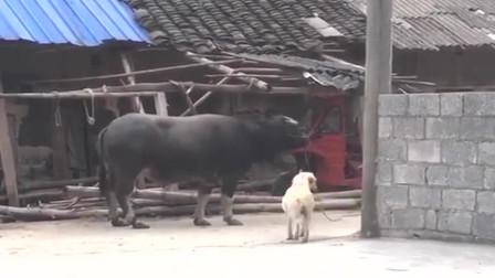 农村小伙鬼鬼祟祟的来农家小院偷牛,没想到被拉布拉多发现了,接下来太逗了!