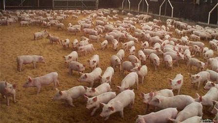 美国为何能成为养猪第一大国?看看人家的猪粪处理,一切就明白了