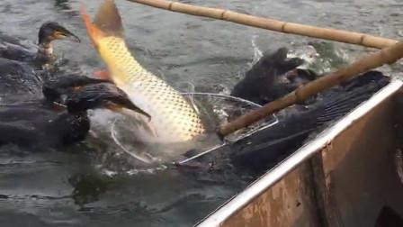 农村人放鹰抓鱼了,果然是团结力量大,几只鱼鹰抓了一条15斤的大鱼!