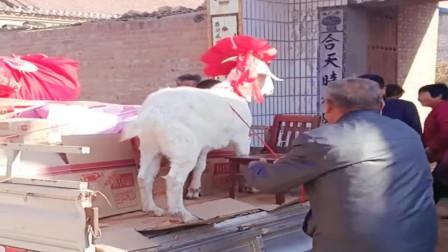 村长的女儿出嫁了,直接送来一车嫁妆和一头老山羊,轰动整个村!
