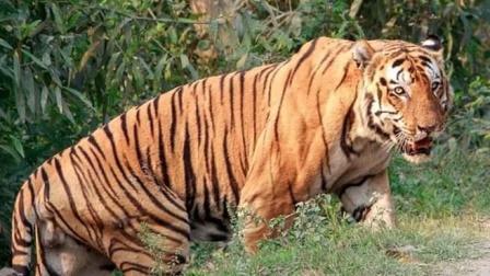 纪念印度最大最强的虎王kzt085 卡齐兰加的王者