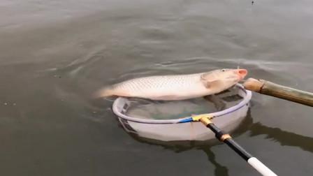 农村河里的野生鲤鱼劲儿真大, 船都被它拉跑了,真带劲啊!