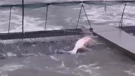大鱼拼尽全力想逃生,最后终于筋疲力尽,累死在甲板上!