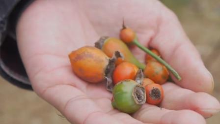 农村的一种野果,糖琅果,以前农民嫌小不愿摘,现在想吃却难买