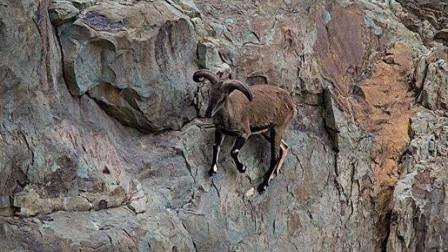 狼群在悬崖上追捕岩羊,不料下一秒意外发生,镜头拍下全过程