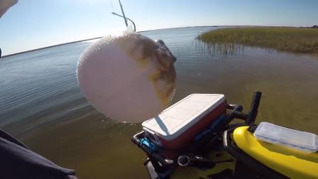 河豚生气的时候,用针扎一下会像气球一样爆炸吗?看完后不淡定了