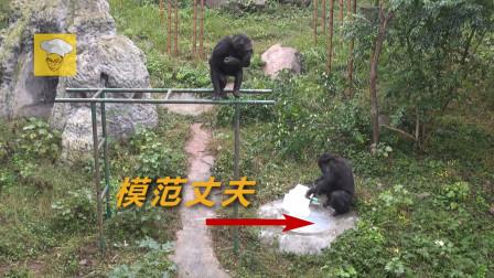 超萌黑猩猩爱洗衣服,绝对不是一只动物,是智慧超群的山顶洞人?