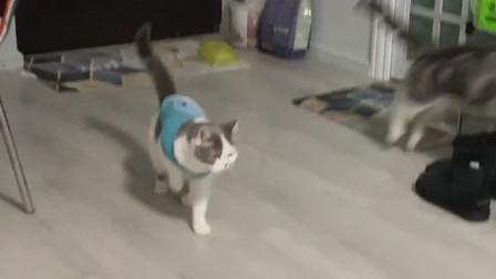 已经去医院看了,医生说这只猫是装瘸骗东西吃争宠的