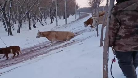 这就是生活在农村的水牛,冬天来了直接玩起了滑梯,太逗了!
