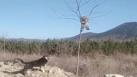猫子:两位大哥你就放了我吧,我都被你们吓得爬树上了