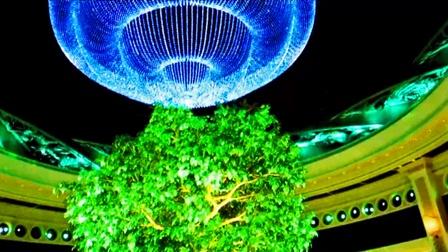 澳门之旅7 吉祥树(发财树)