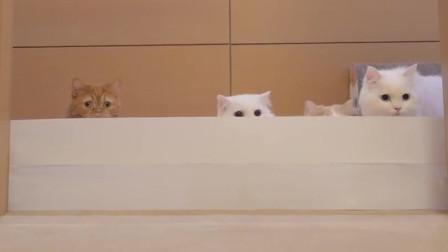 卫生纸能挡住猫咪吗?铲屎官的6只猫猫来挑战,萌萌