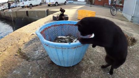 实拍岛国退休社会黑猫,收取新鲜小鱼勉强度日的样子