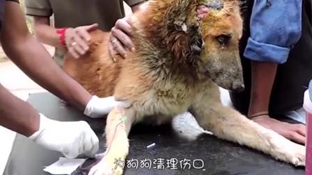 一条年迈的流浪狗,耳朵惨被撕碎,只能默默的等死!