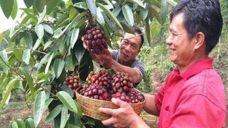 """此水果我国独有,被誉为""""天下第一奇果"""",一斤50元很少人吃过"""