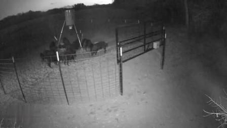 国外野猪泛滥,无奈只能设栅栏陷阱,一次轻松抓到几十只!
