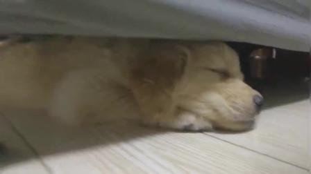 喜欢睡床底的小金毛,可惜长大的你再也没有机会了