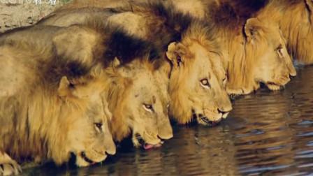 六只雄狮同时出现在河边喝水,拍到了前所未见的画面,拍摄者都被震惊了!