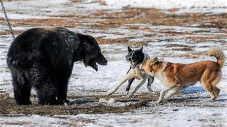 狭路相逢勇者胜 原住民部落猎犬之间的战斗