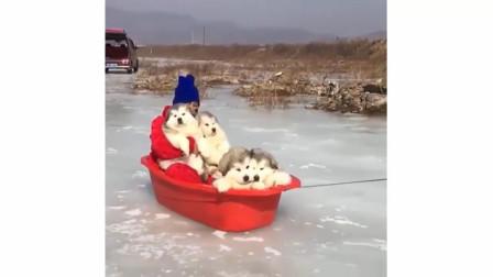 【哈士奇】-拉了那么多次雪橇,今天自己成了乘客!