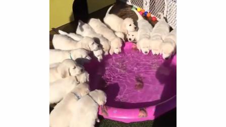 【金毛】-哥几个往旁边稍稍行吗,我够不着水盆了!
