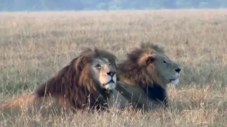 最坚强雄狮兄弟,统领狮群十余载,堪称传奇!
