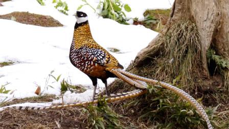 我国特有鸟类,尾巴接近2米长