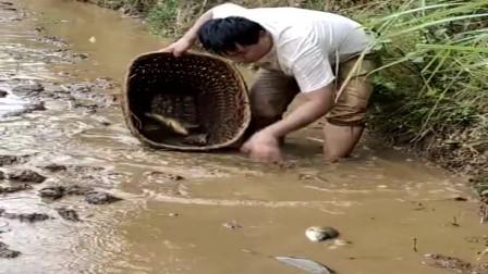 农村小伙上山采药却遇到鱼塘放水,稻田里全是鱼,背篓都快装不下了!