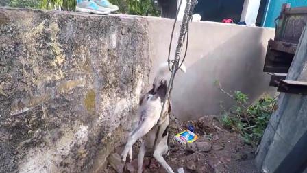 被钢管刺伤的狗狗被好心人救助
