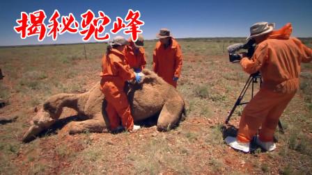 骆驼的驼峰中到底是什么?研究人员将其切开,真相原来是这样