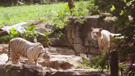 老虎是独居动物,小老虎会从小和虎爸虎妈学习捕食