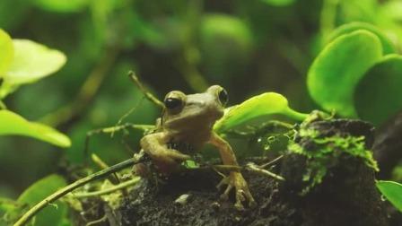 树蛙会以昆虫和幼虫为食,小朋友们千万别怕