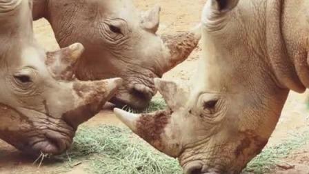 犀牛的角用处多,角边上很锋利是危险的武器