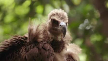 秃鹫为什么很臭,小朋友来给你解答