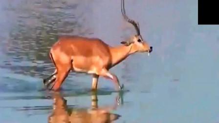 斑羚在河边险被鳄鱼吃掉,逃脱后却被鬣狗吃掉!